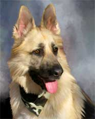 dog portrait of a German-Shepherd